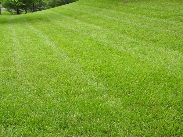 Как выбрать газон на дачу, краткий обзор